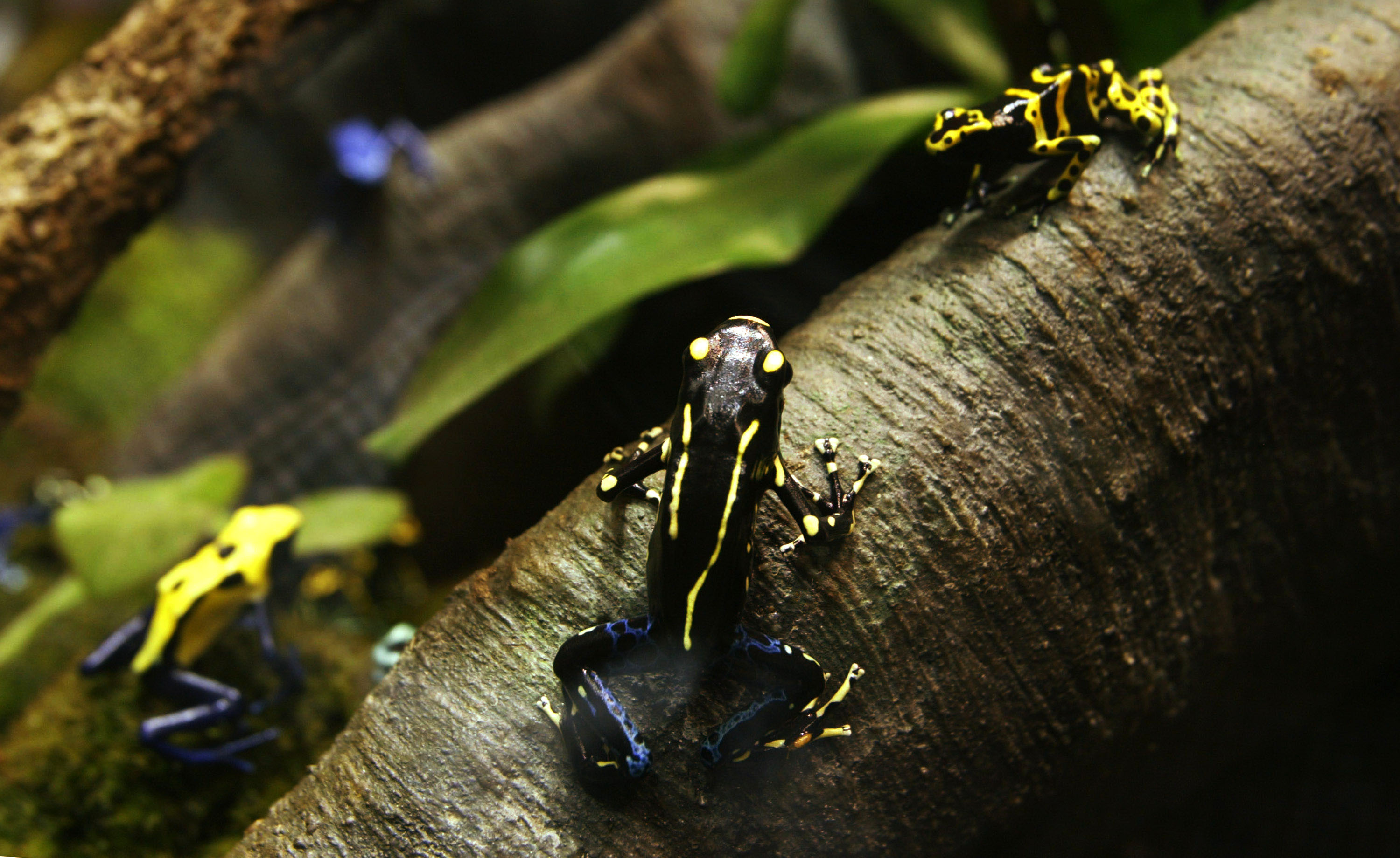 Poison Dart Frogs photo